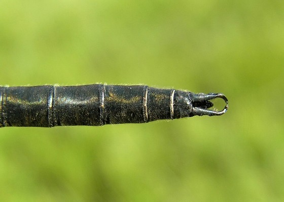 Mountain Emerald, dorsal view of appendages - Somatochlora semicircularis - male