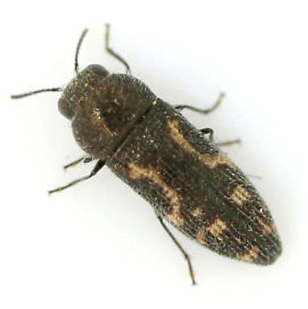 Buprestidae - Acmaeodera? - Acmaeodera neglecta