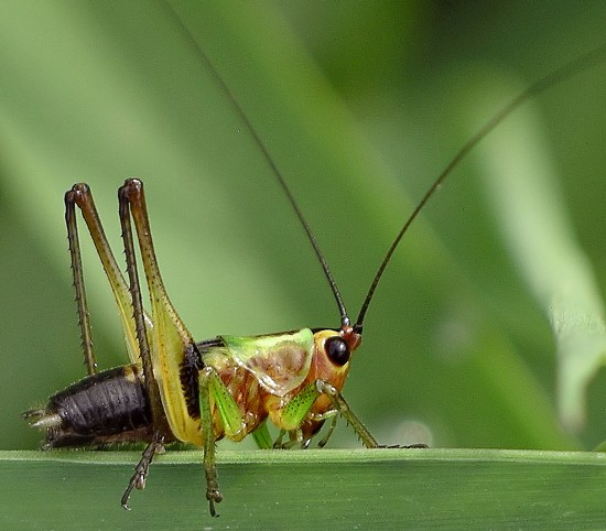 meadow katydid - Conocephalus nigropleurum - male