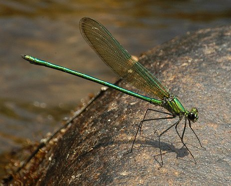 Appalachian Jewelwing - Calopteryx angustipennis - male