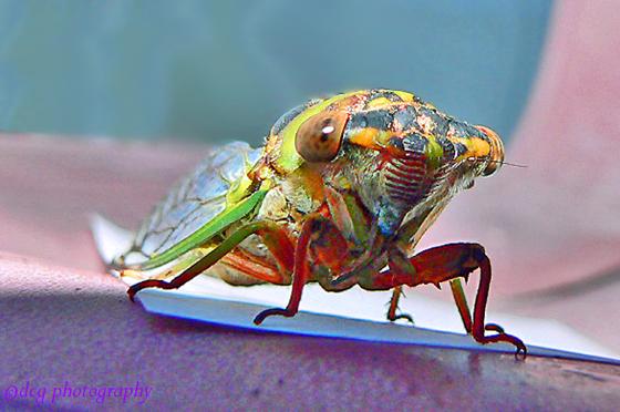 Davis' southeastern dog-day cicada