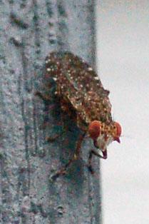 Marsh Fly - Dictya