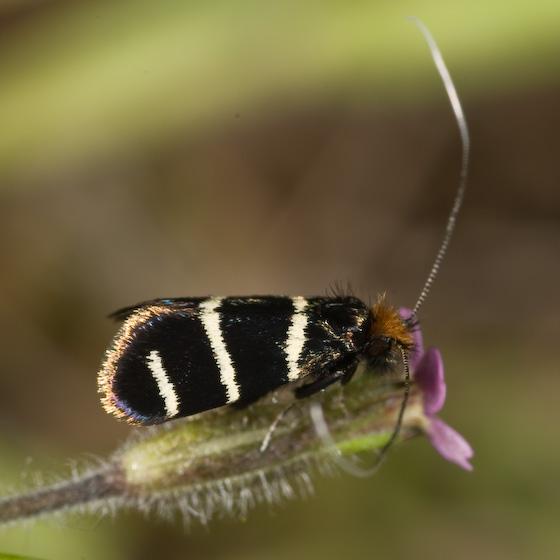 Adela eldorada - Adela trigrapha - female