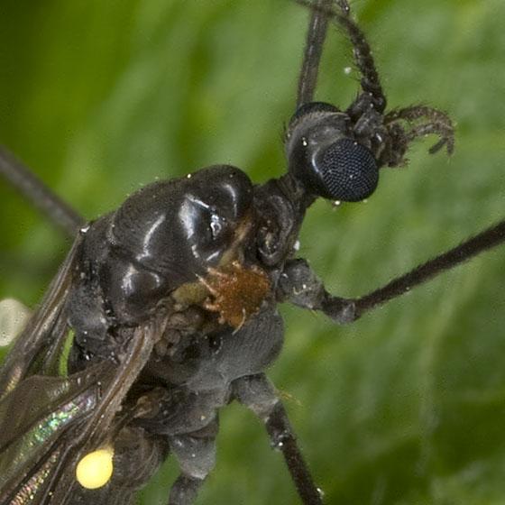 Cranefly mite1570 - Cheiroseius