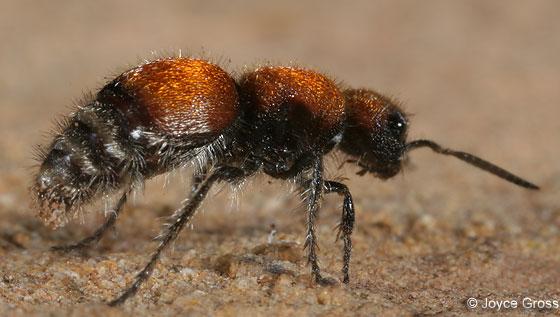 velvet ant - Pseudomethoca propinqua