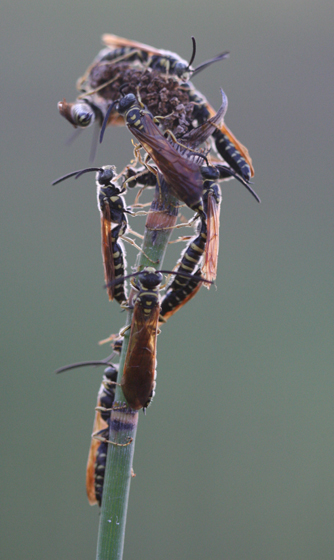 Wasp night roosting aggregation - Myzinum quinquecinctum - male