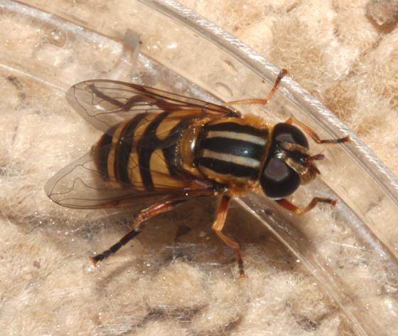 Syrphidae - Helophilus