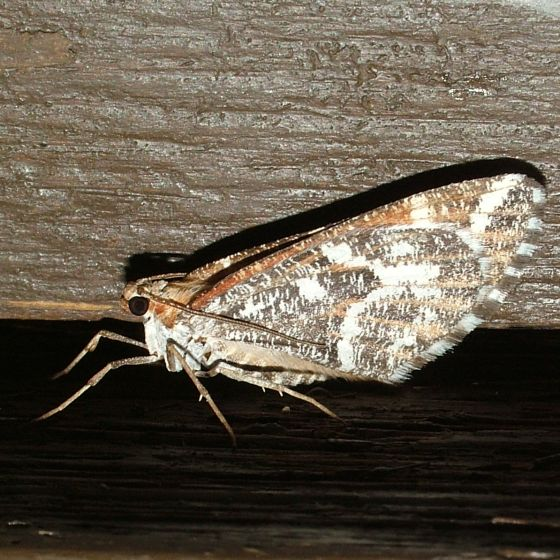 Moth with wings closed - Stamnodes marmorata