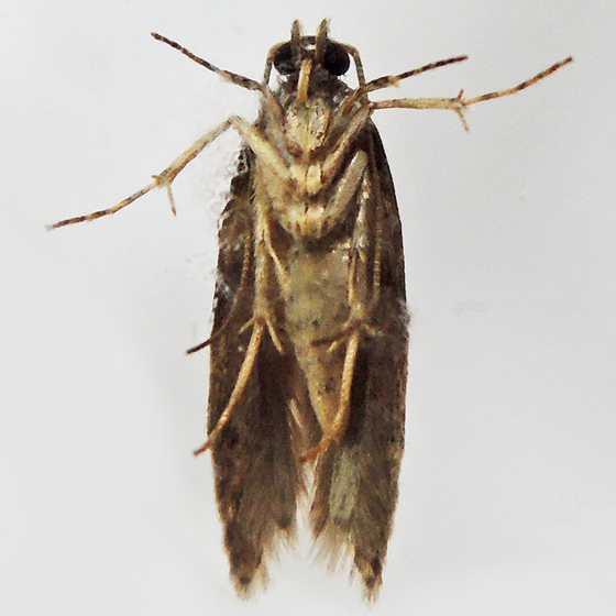 Stripe-backed Moth - Arogalea cristifasciella