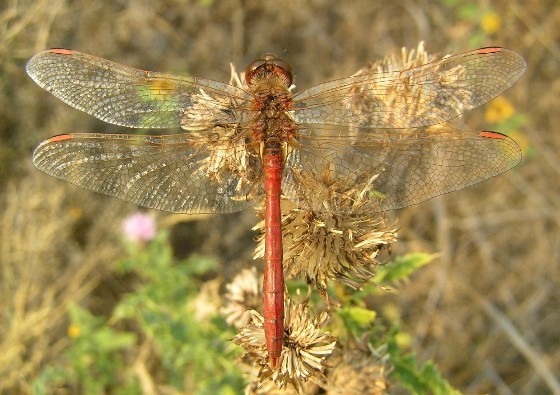 Saffron-winged Meadowhawk - Sympetrum costiferum - male
