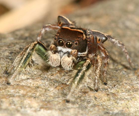 Green-legged Jumper - Habronattus viridipes - male