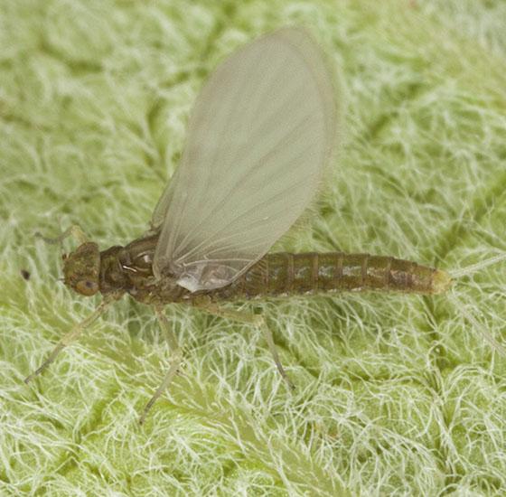 IMG_0699 - Acentrella turbida - female