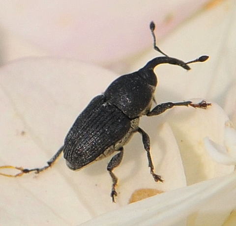 Snout Beetle - Odontocorynus salebrosus