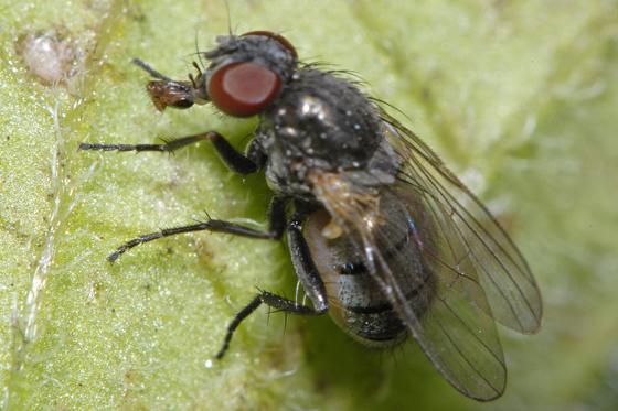 unknown fly - Fannia