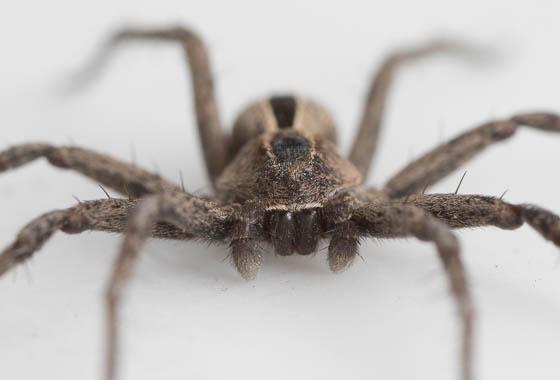spider ID in colorado - Thanatus