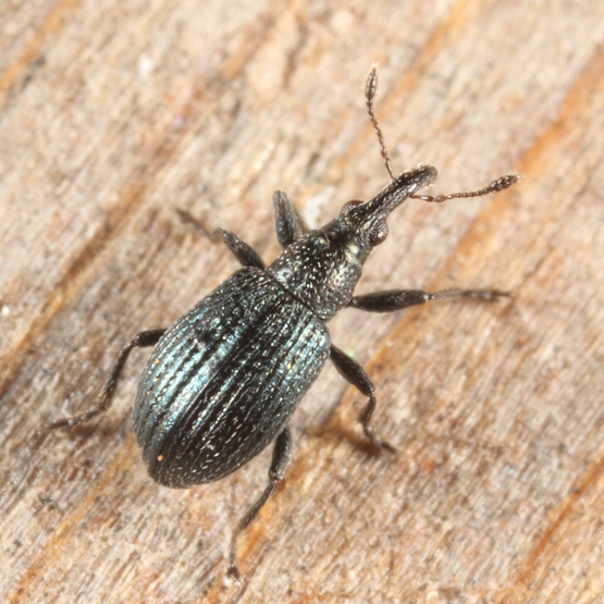 green weevil - Ischnopterapion virens - male