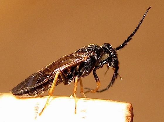 Adult - Cladius difformis - male