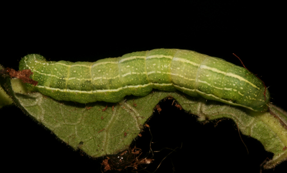Noctuidae, Speckled Green Fruitworm, dorsal - Orthosia hibisci
