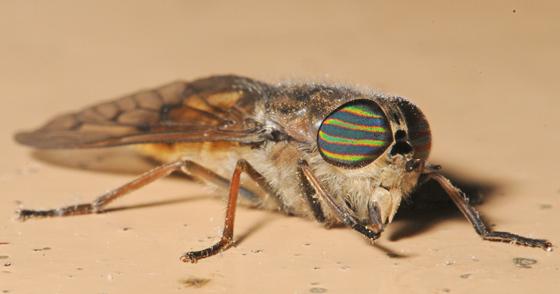 Fly in Indiana - Hybomitra lasiophthalma - female