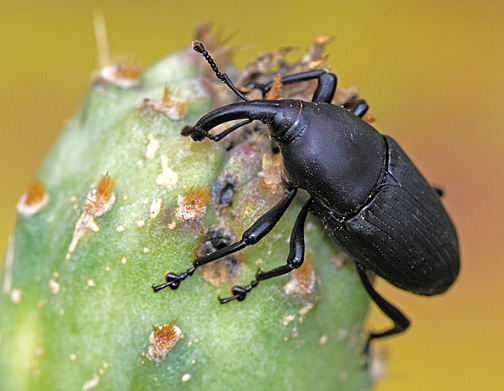 Weevil on cactus - Cactophagus spinolae