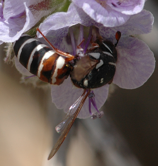 Pseudomasaris basirufus - female