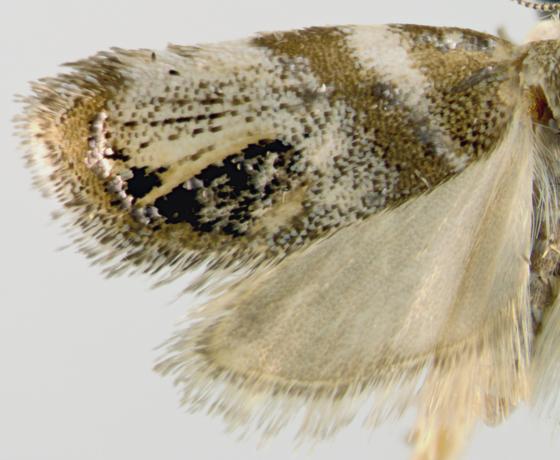 Choreutidae, Metalmark Moth - spread - Prochoreutis extrincicella