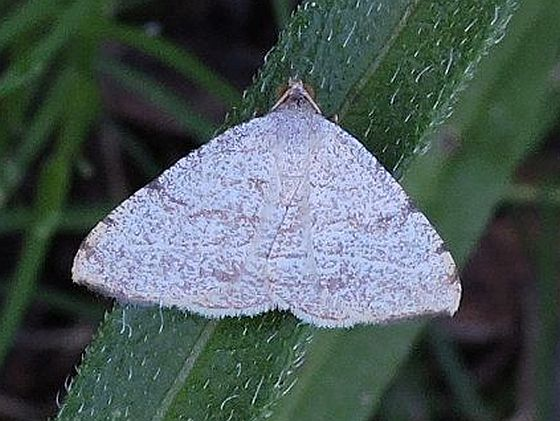 Moth  - Taeniogramma octolineata