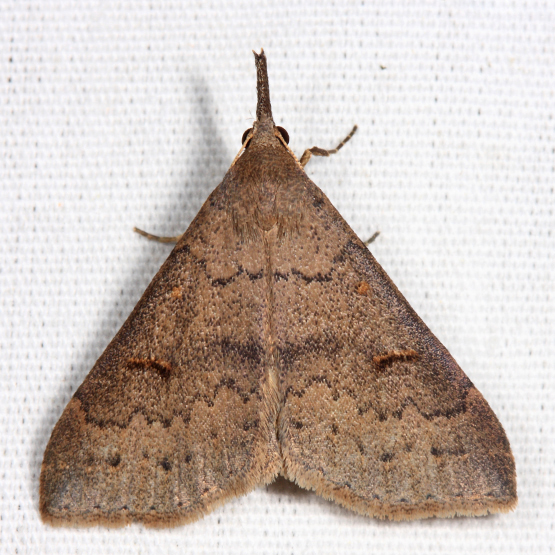 Speckled Renia - Renia adspergillus - female