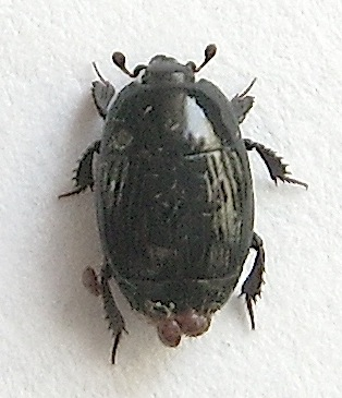 Histeridae - Margarinotus merdarius