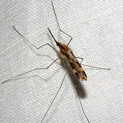 Mosquito - Anopheles punctipennis