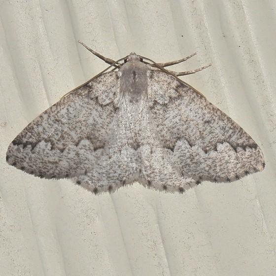 Moth - Enypia packardata