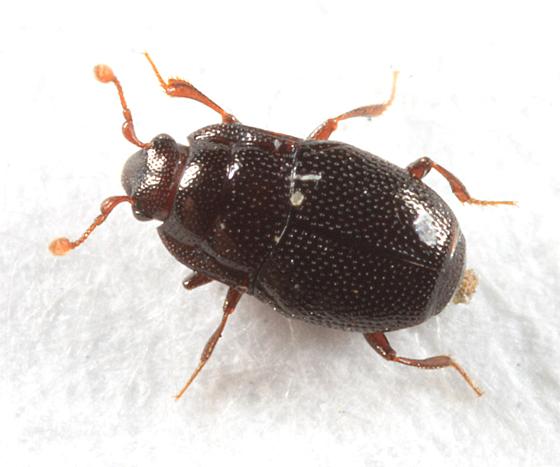 small Histerid - Plegaderus sayi