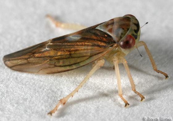 leafhopper - Idiocerus formosus