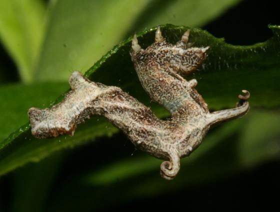 Geometridae, Horned Spanworm, larva - Nematocampa resistaria