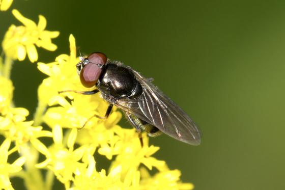 Fly - Cheilosia