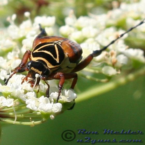 Delta Flower Scarab Beetle - Trigonopeltastes delta