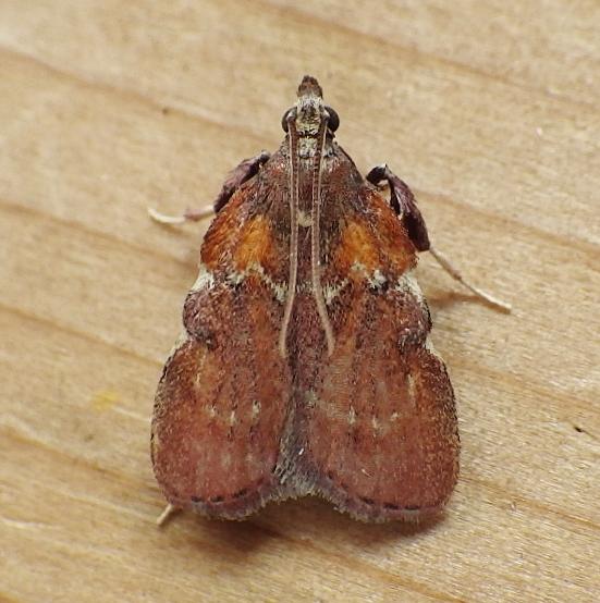 Pyralidae: Galasa nigrinodis - Galasa nigrinodis