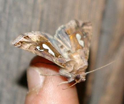 Brief nocturnal visitor - Megalographa biloba