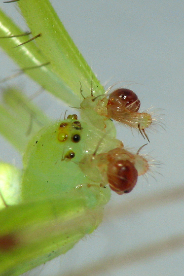Left pedipalp - medial view - Araneus cingulatus - male