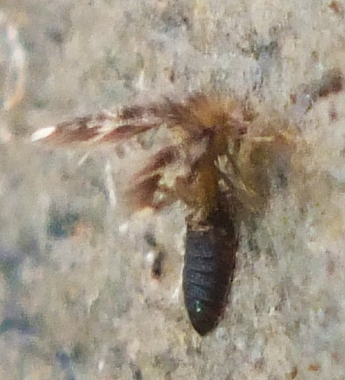 Maruina (Psychodidae) - Maruina