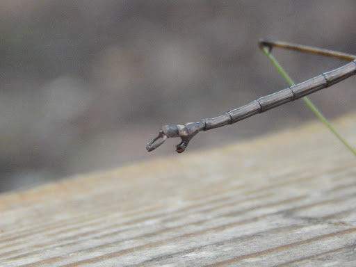 Walking Stick - Diapheromera femorata