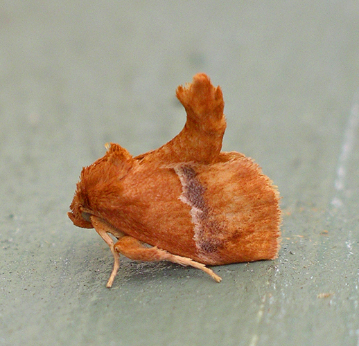 Graceful Slug Moth - Lithacodes gracea