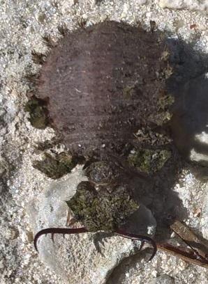Horned Bug