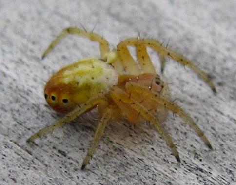 black-dotted spider - Araniella displicata