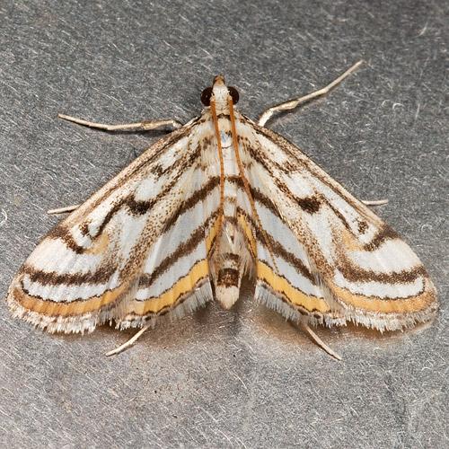 Parapoynx badiusalis - Chestnut-marked Pondweed Moth - Parapoynx badiusalis