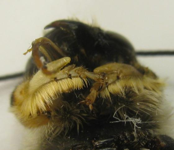 On penstemon flowers - Megachile - male