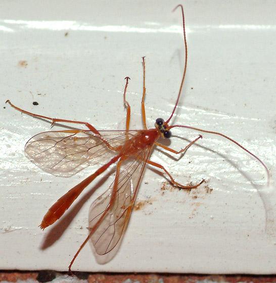 Ichneumon - Enicospilus purgatus