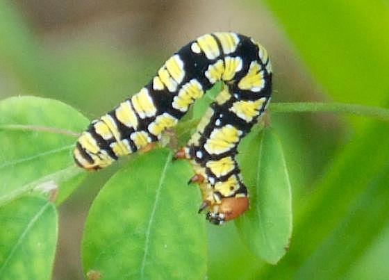 White-tipped Black Moth Larva - Melanchroia chephise