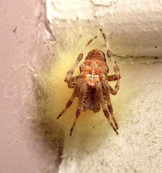 Ma Cross - Araneus diadematus - female