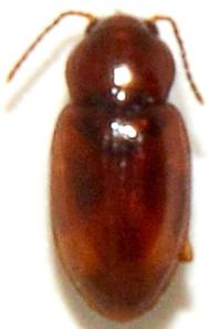 Elaphropus nebulosus